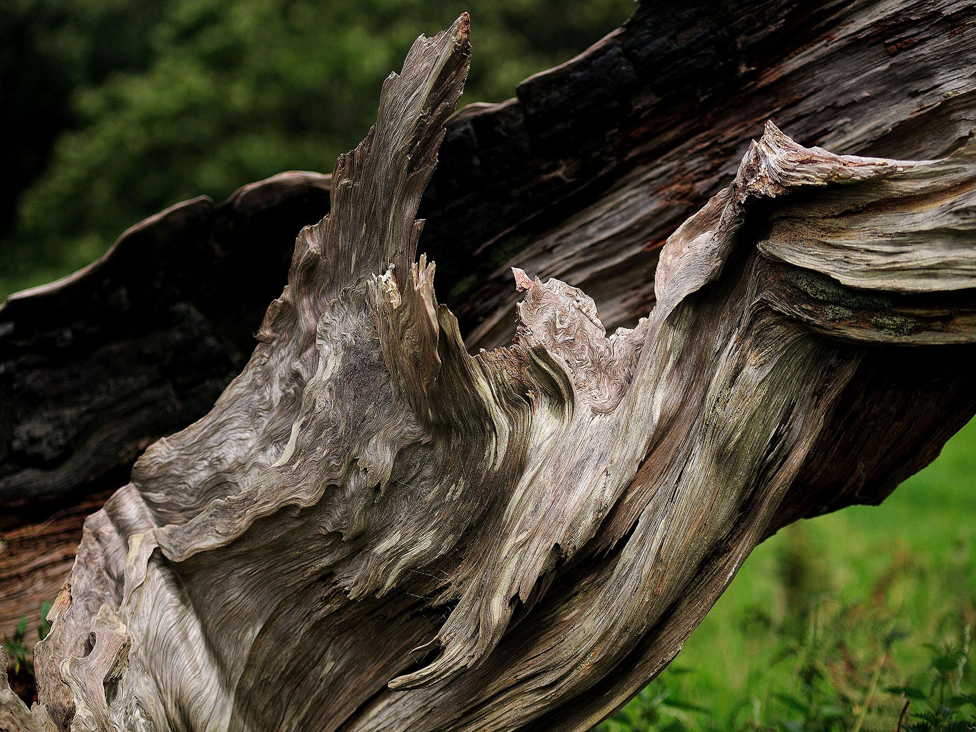 EDGECOMBE TREE